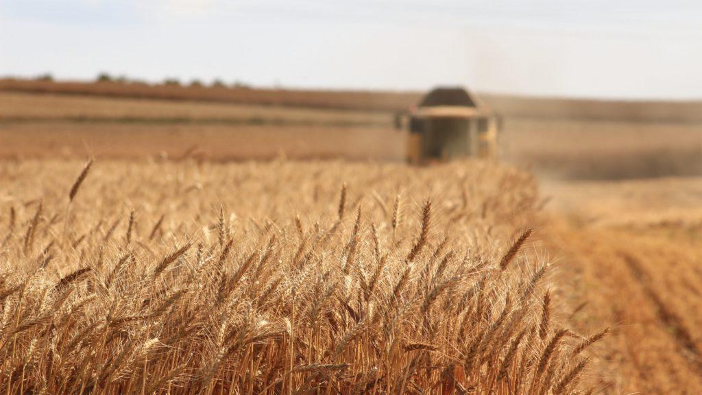 lammas-grain-harvest