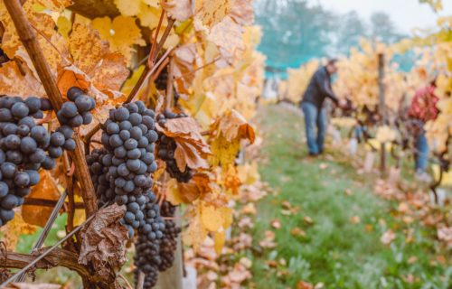 people harvesting grapes during fall harvest